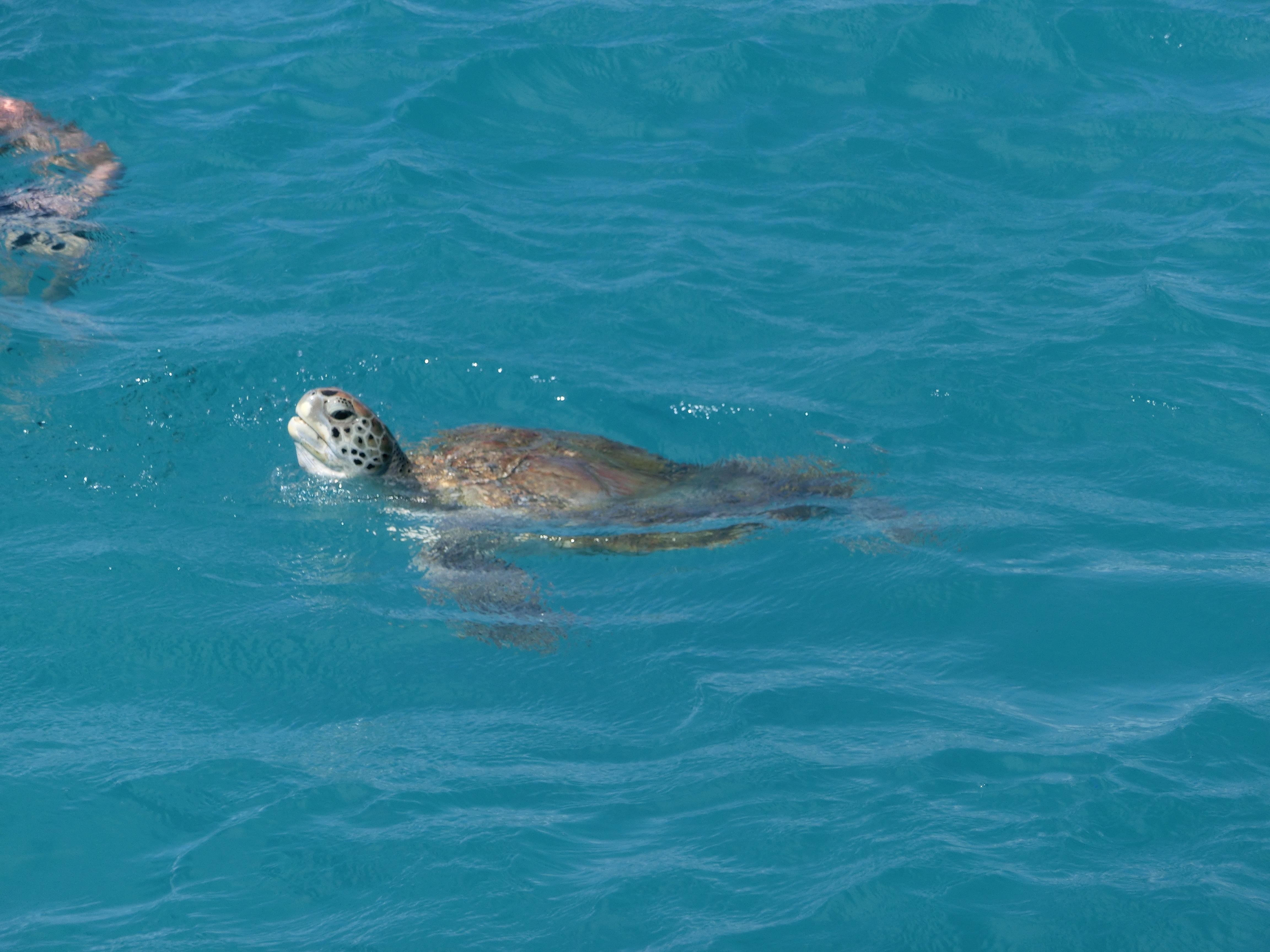 Schildkröte auf Barbados