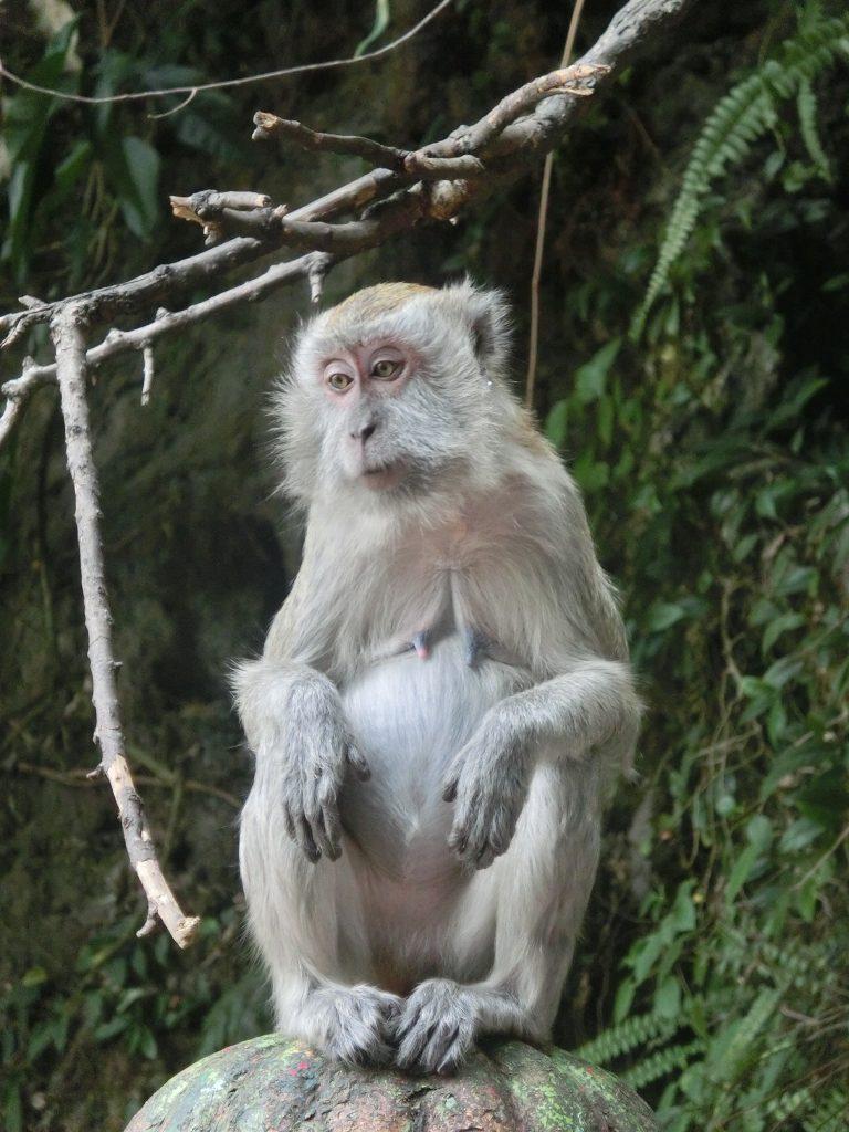 Affen an den Batu Caves, Malaysia