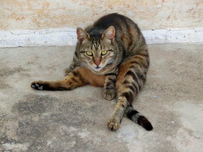 Katze auf der Insel Paros, Griechenland