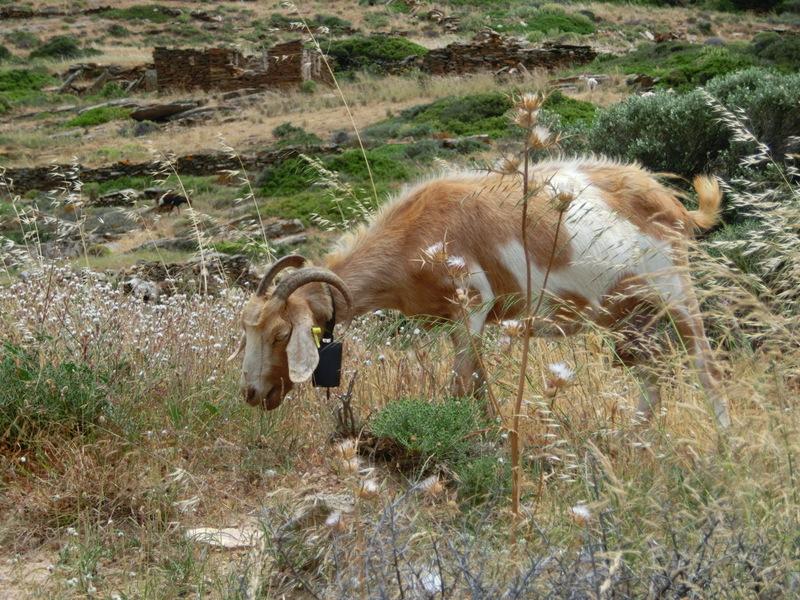 Grasende Ziege in Greichenland