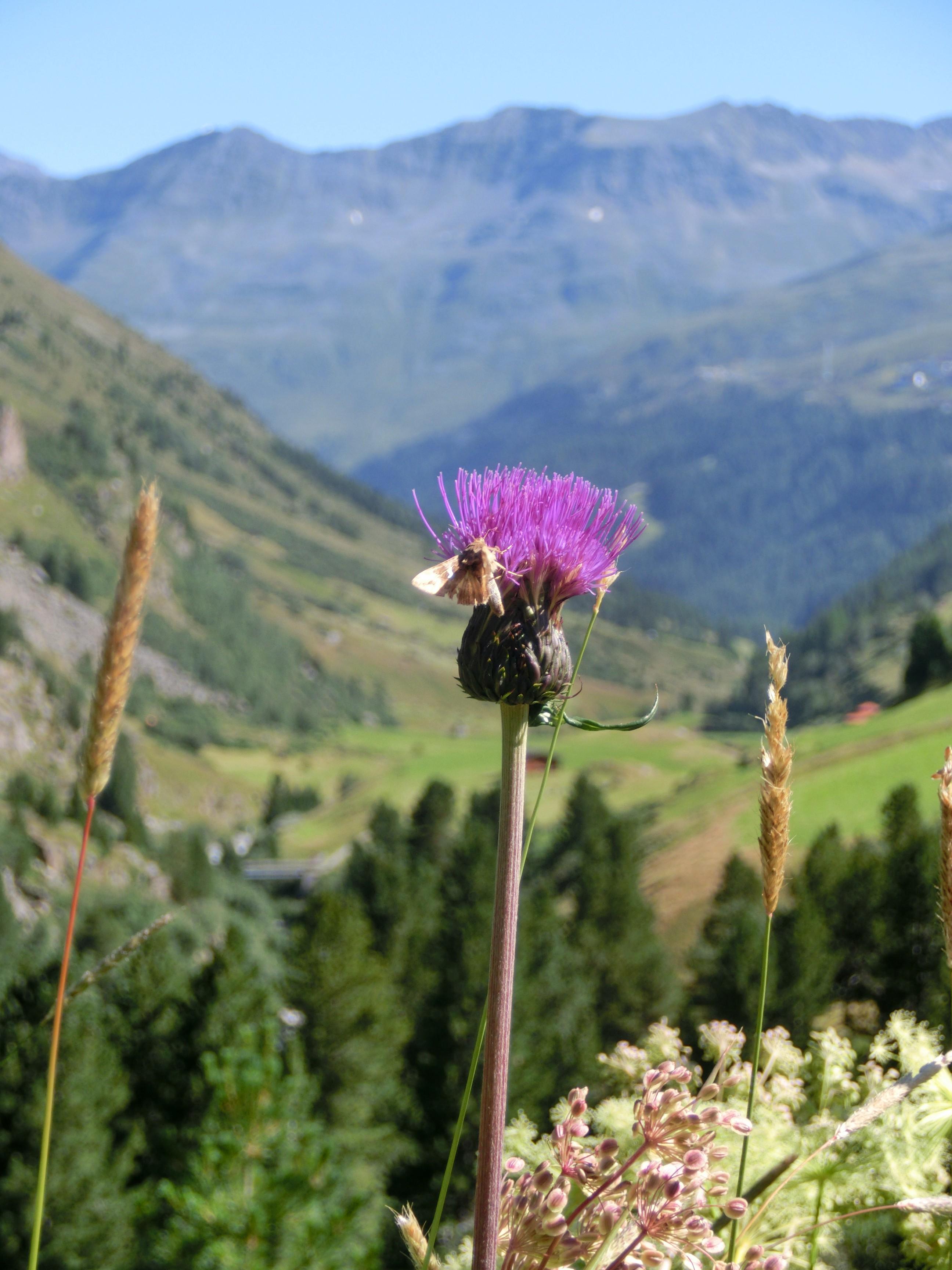 Sommerblume vor dem Ötztaler Bergpanorama