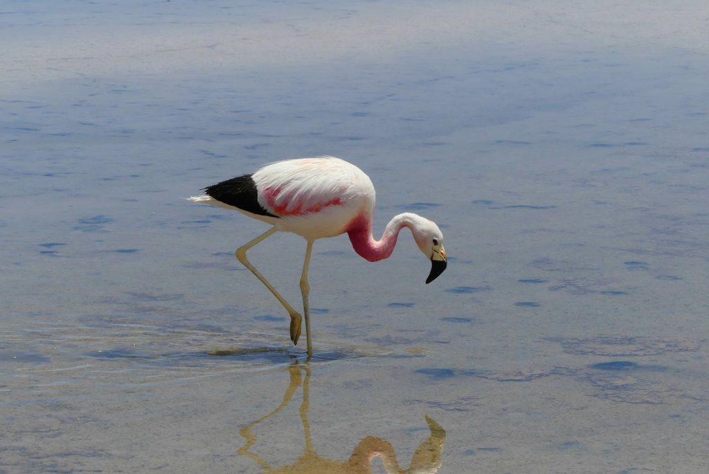 Flamingo an der Laguna Chaxa
