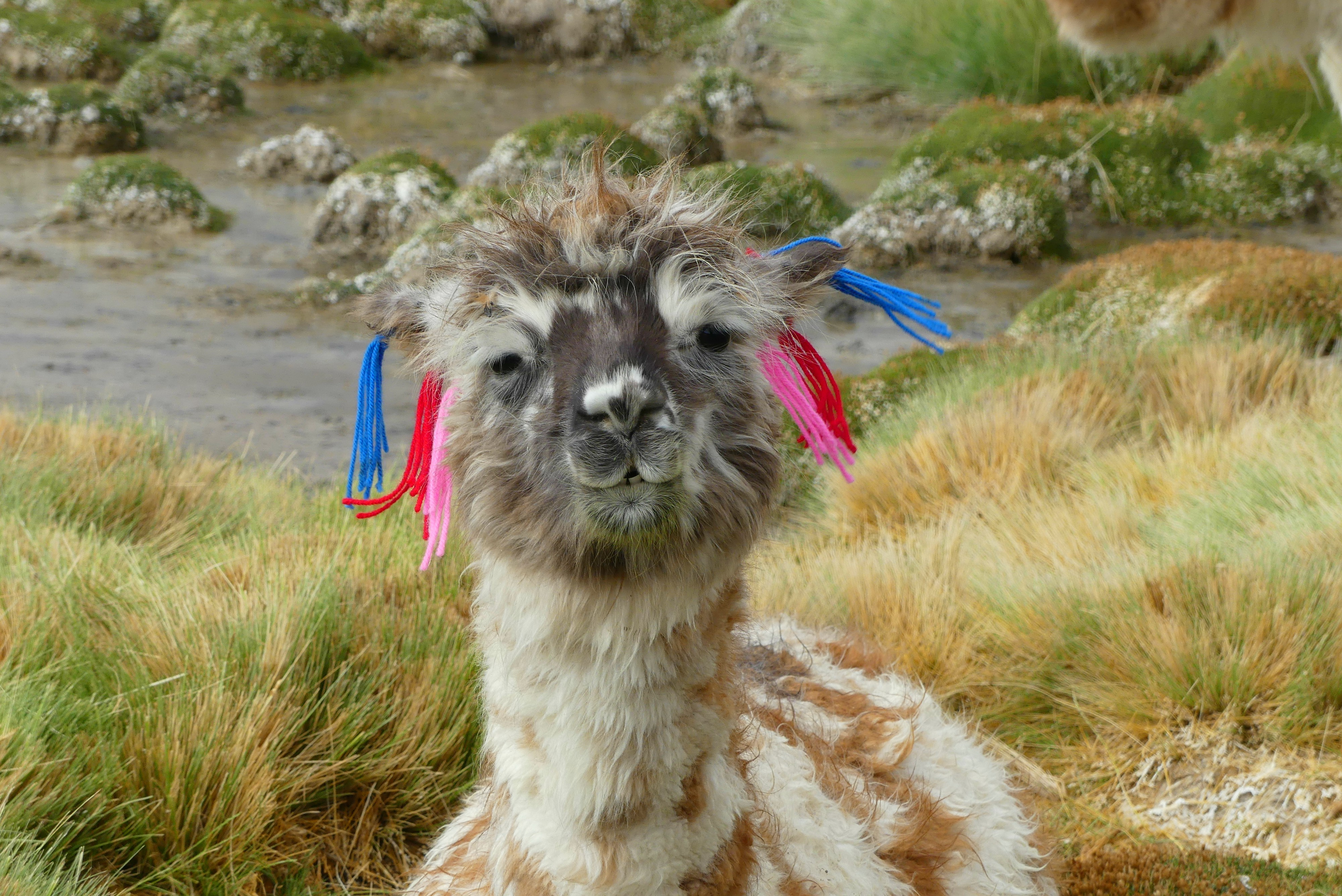 Lama in Chile