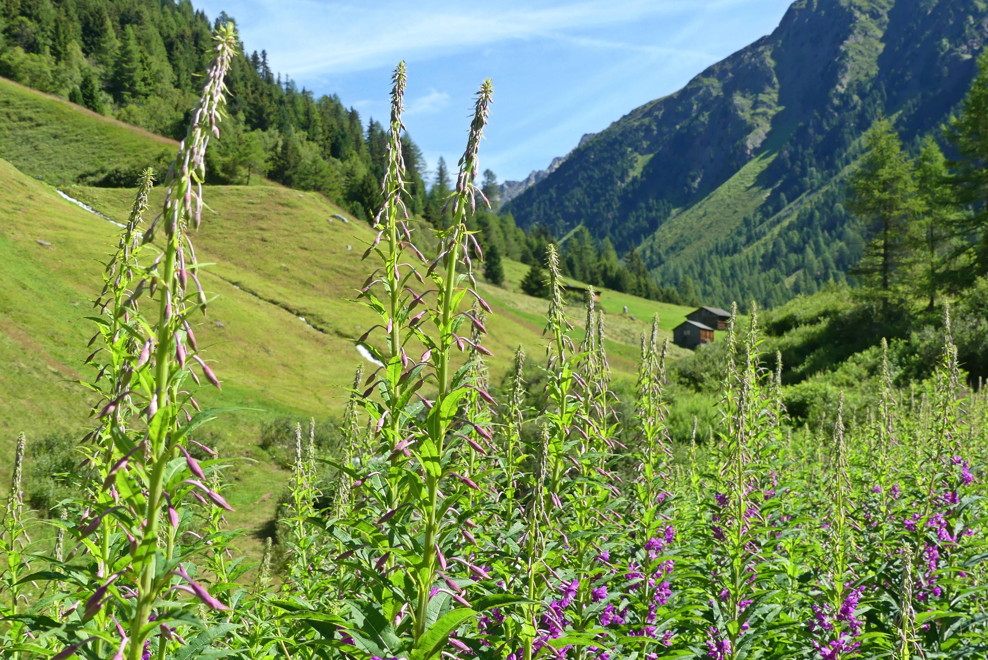 Alpenwiese auf Wanderung zur Schweinfurter Hütte