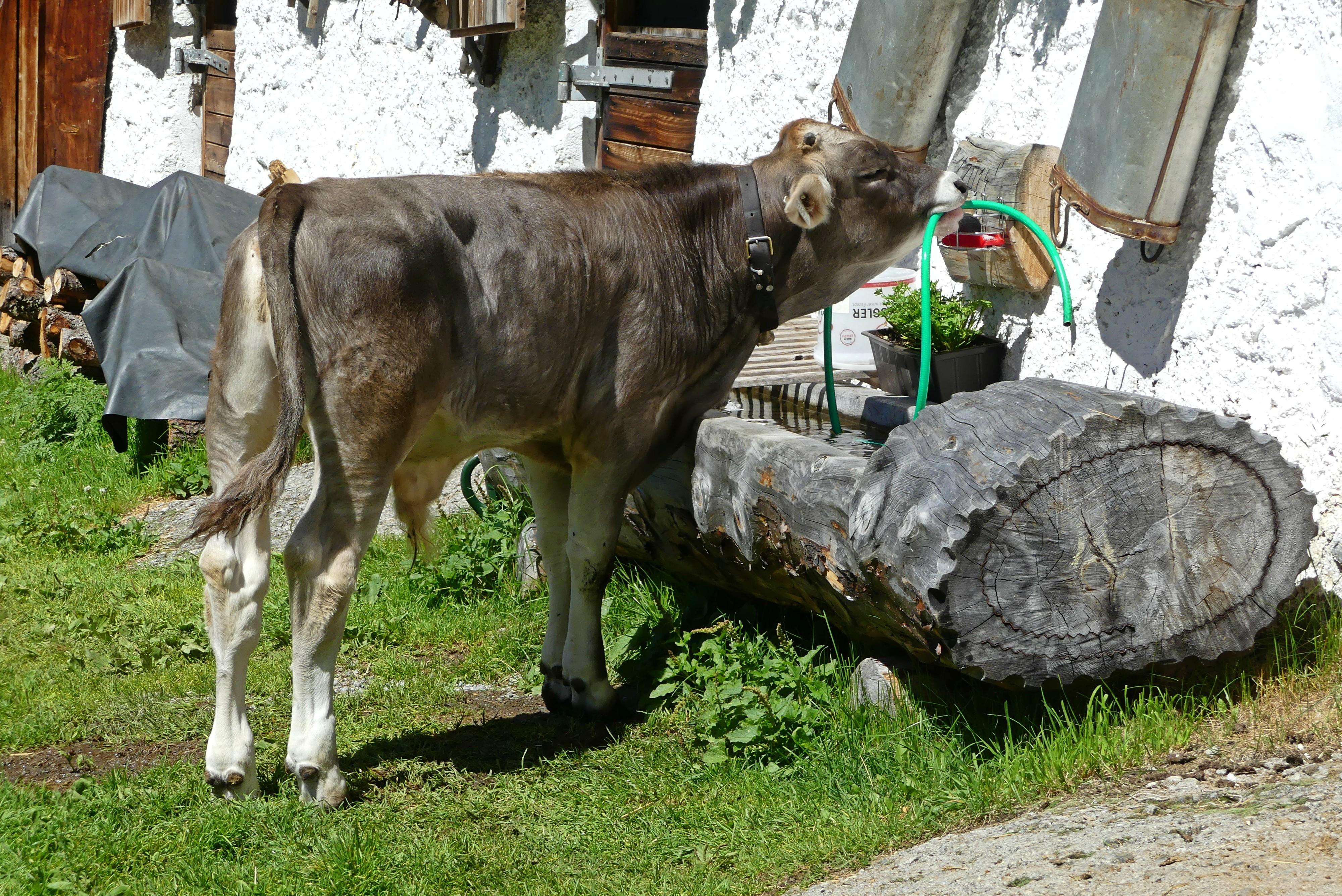 Kälbchen in den Ötztaler Bergen
