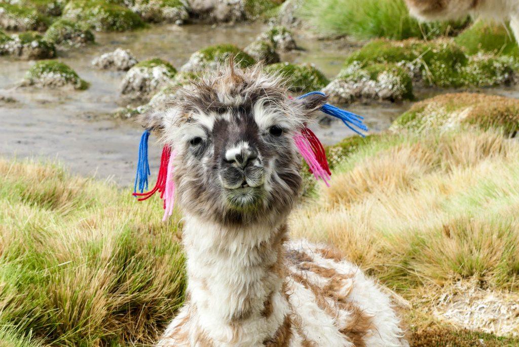 Lama Bolivien Hochland