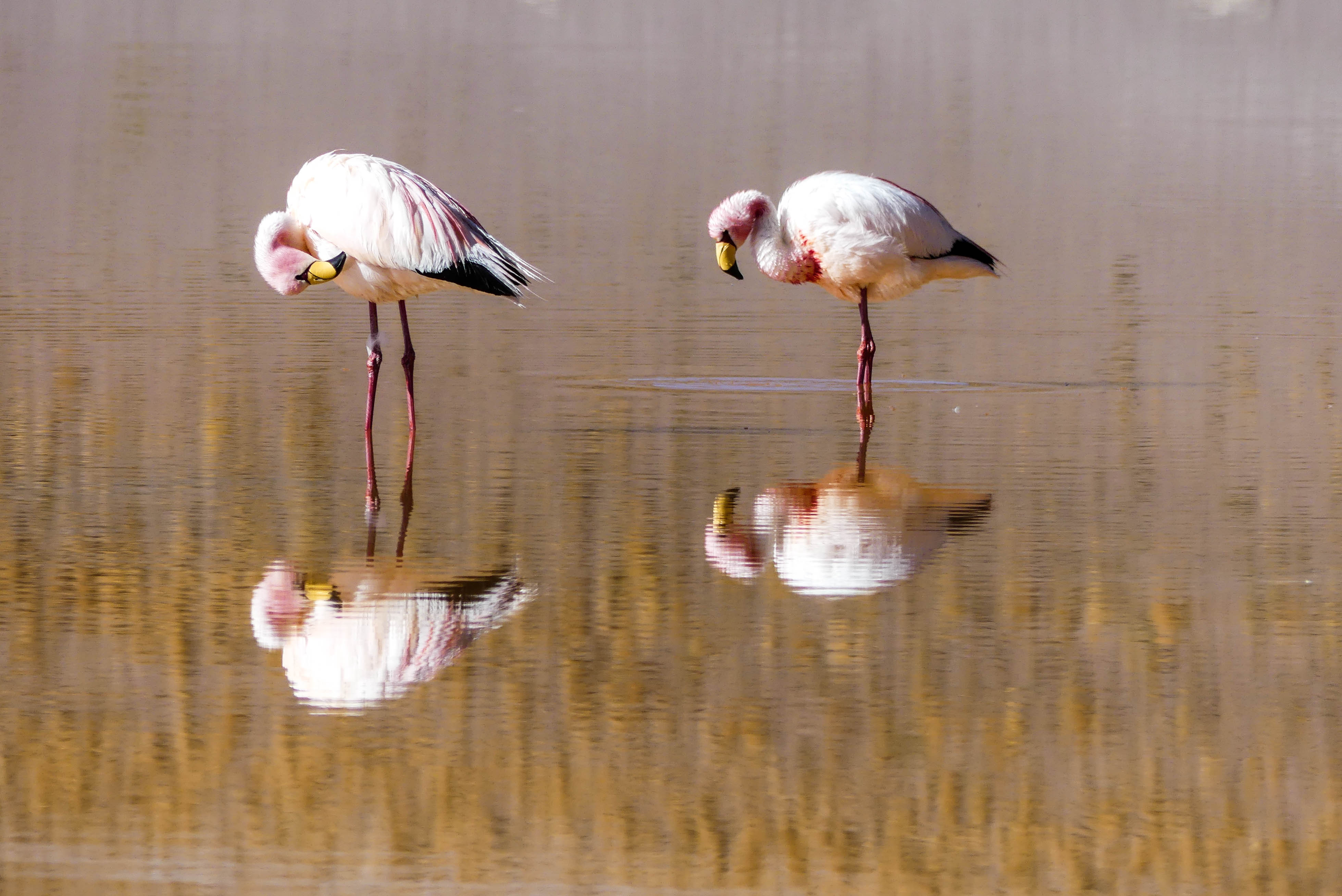 Flamingos in Bolivien