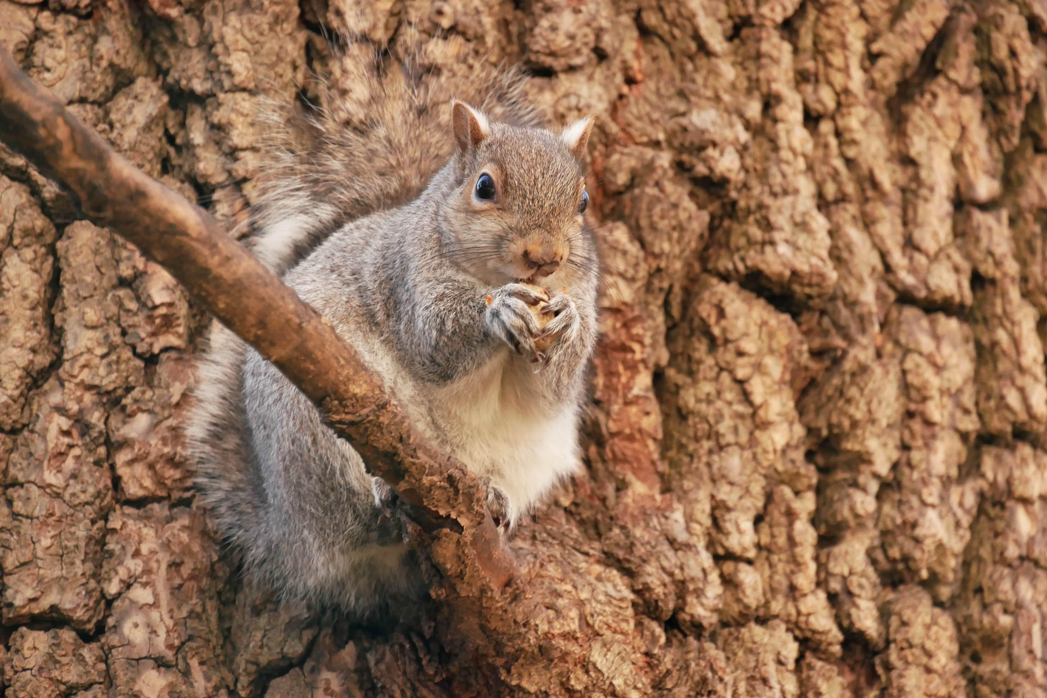 Eichhörnchen Nahaufnahme
