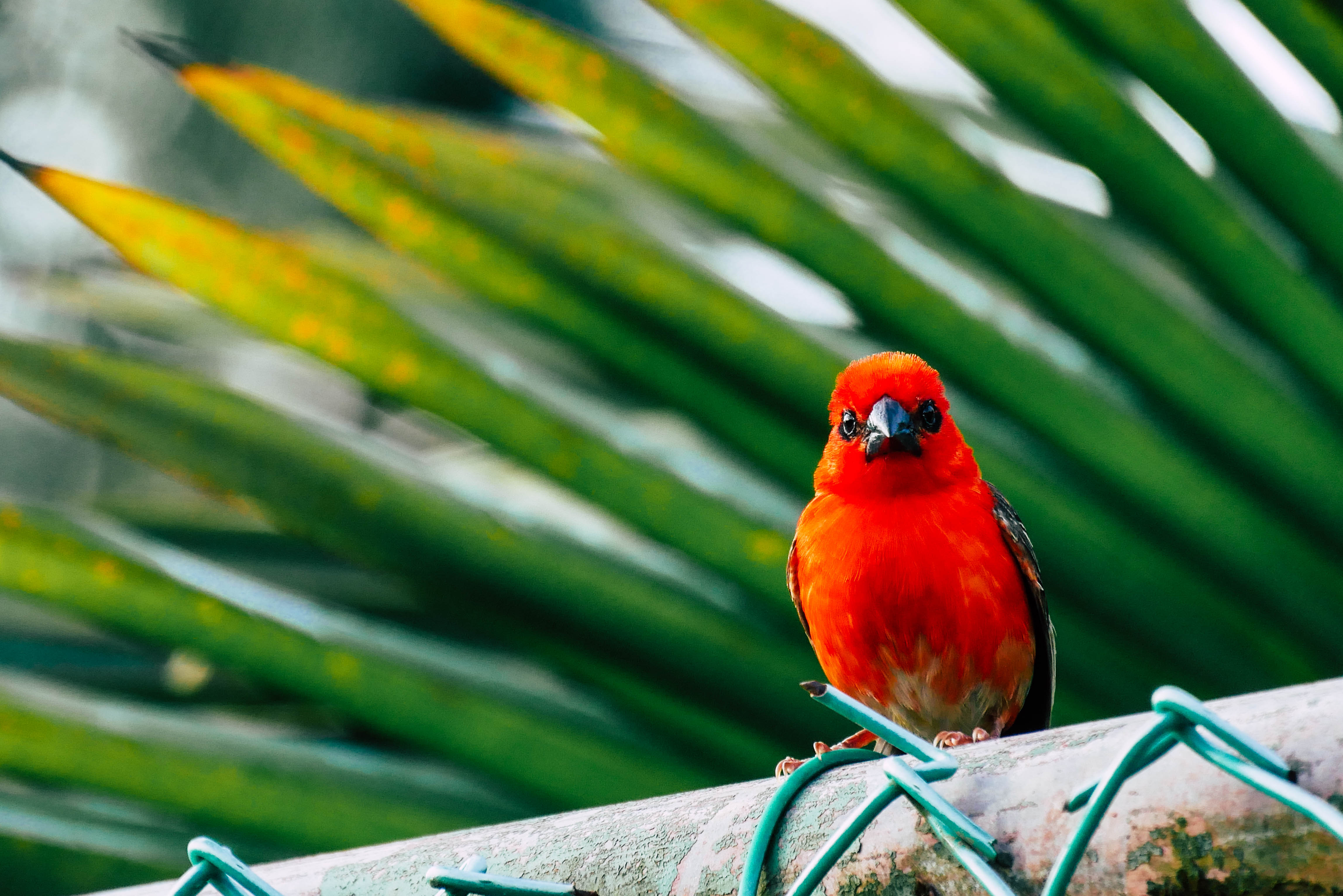 Vogel auf Mahé