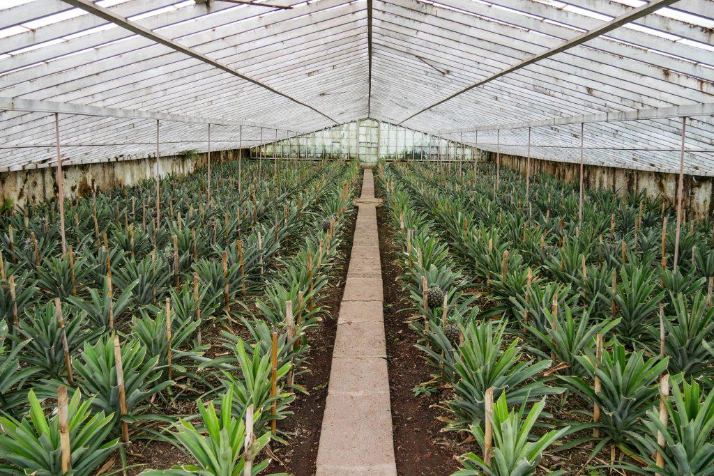 Ananasplantage Arruda Pineapple Plantation