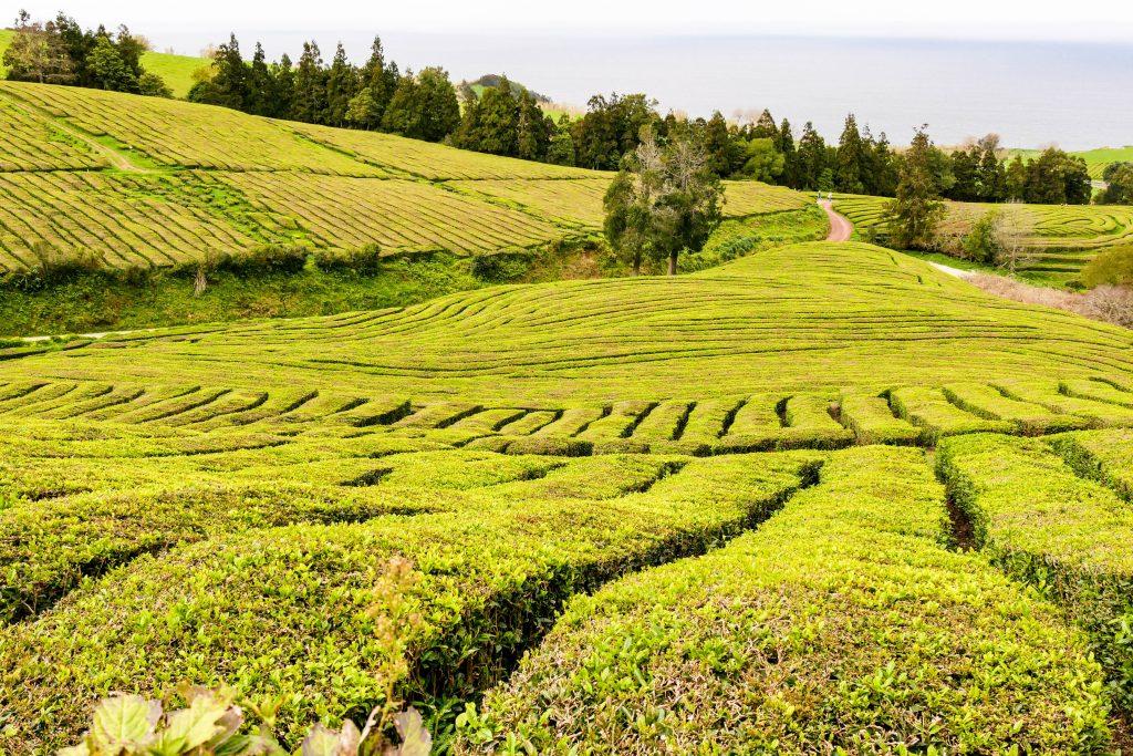 Teefelder Sao Miguel