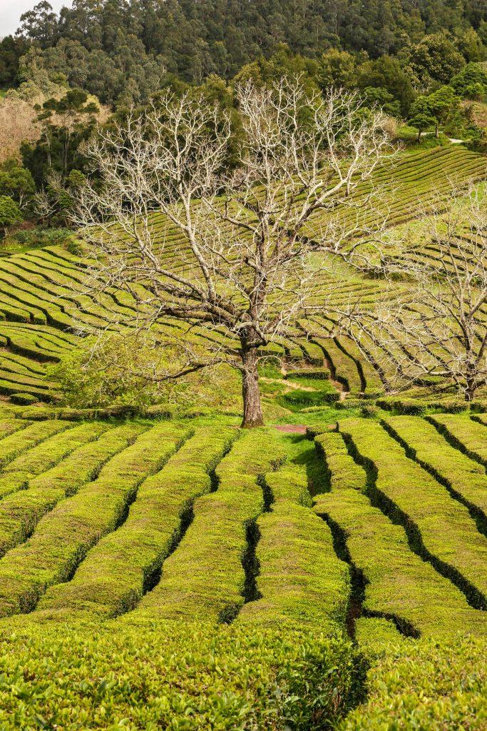 Teefelder in Gorreana, São Miguel