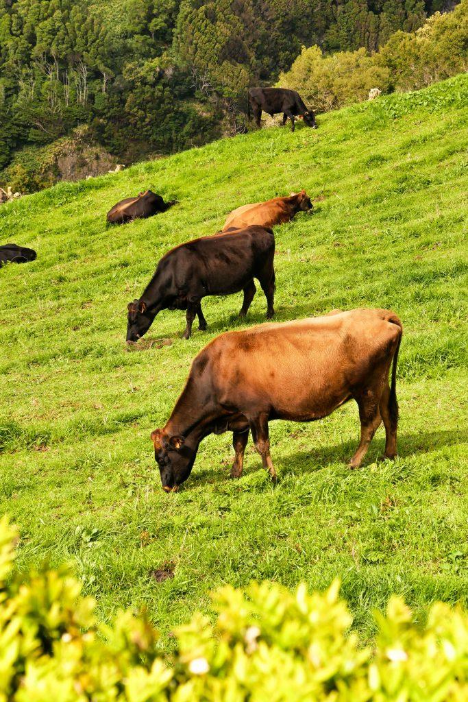 Grüne Wiesen und grasende Kühe - Idylle auf São Miguel.