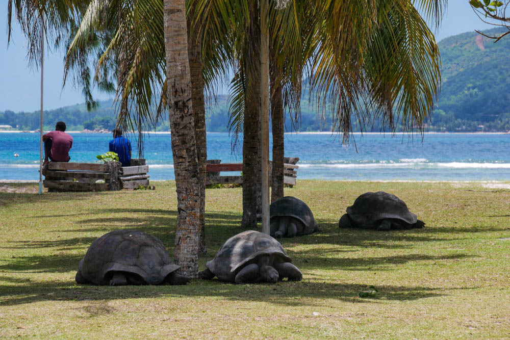 Riesenschildkröten auf Curieuse