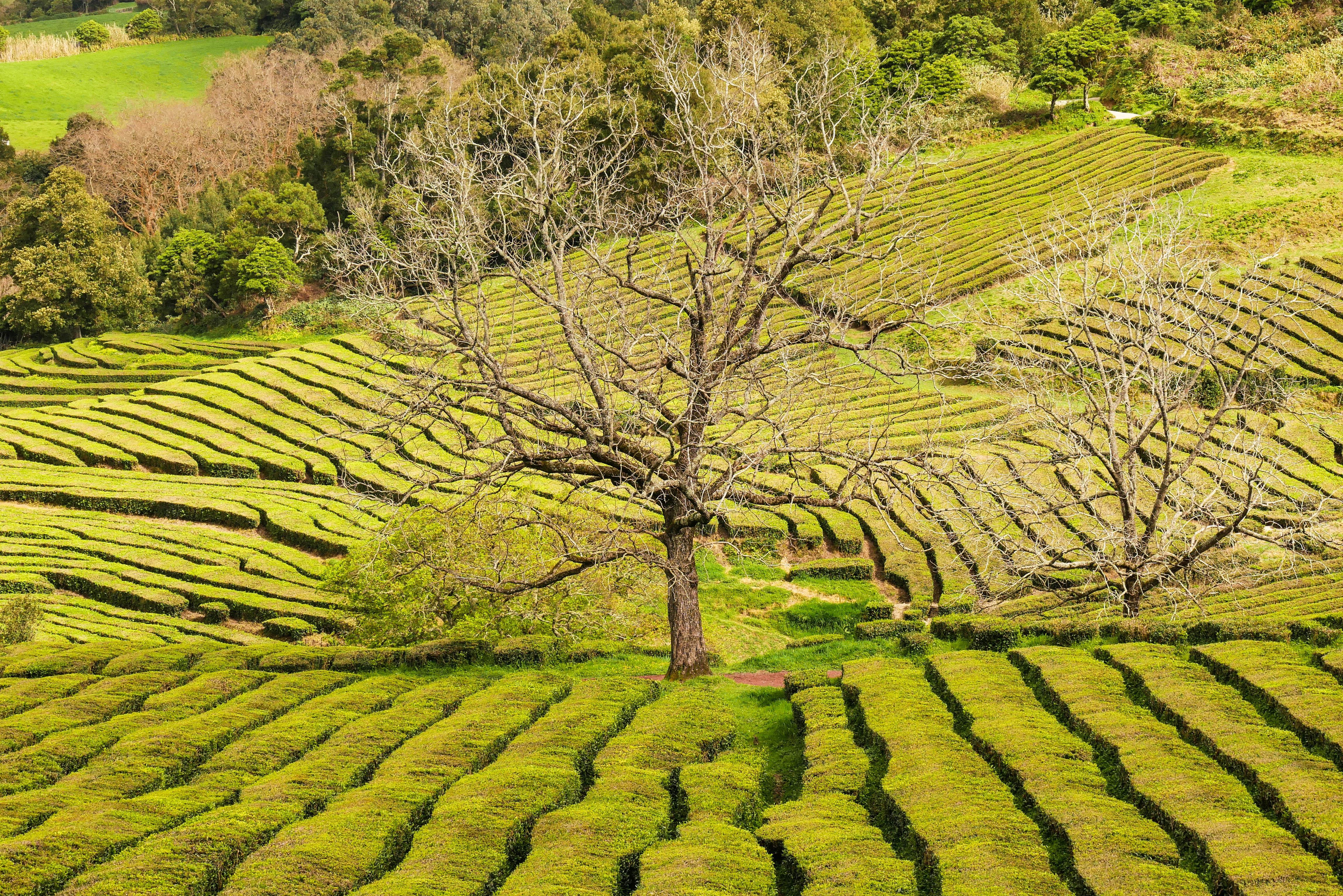 Teefelder Gorreana Azoren