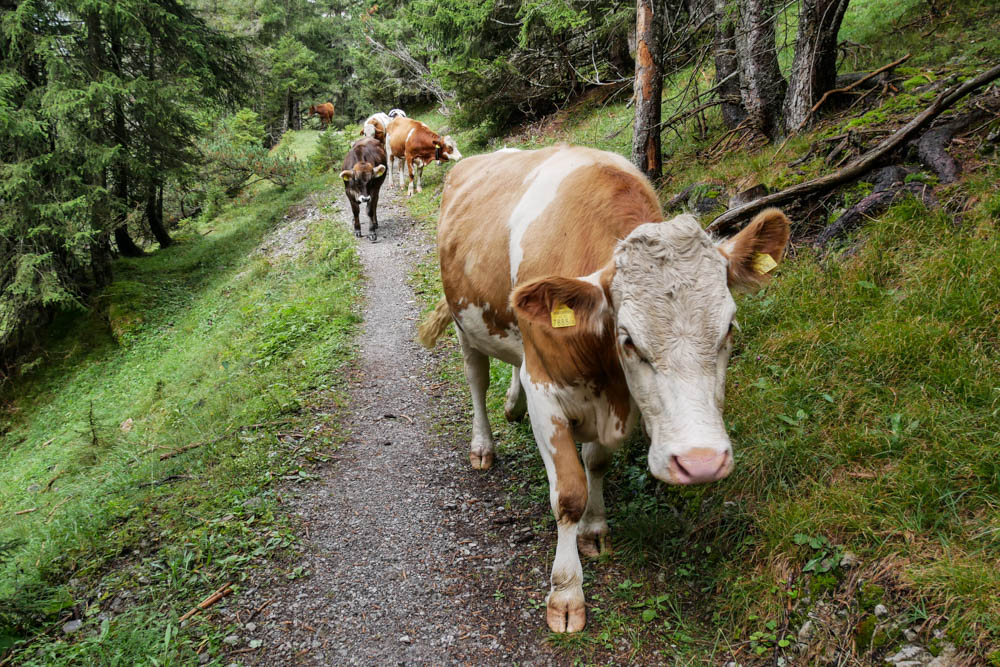 Kühe auf dem Lechweg